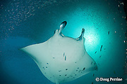 reef manta ray, Manta alfredi (formerly Manta birostris ), being cleaned by moon wrasses, Thalassoma lunare (under left pectoral fin tip), under cloud of silversides, at mouth of Hanifaru Bay, Hanifaru Lagoon, Baa Atoll, Maldives ( Indian Ocean )