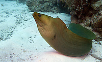 Green Moral Eel