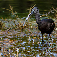 South Florida bird photography from New England based outdoor photographer Juergen Roth showing a glossy ibis at the Green Cay Nature Center and Wetlands in Boynton Beach, Florida. Green Cay and Wakodahatchee Wetlands are amazing nature area for viewing and photographing wildlife in Florida. <br /> <br /> Bird photos of this glossy ibis are available as museum quality photo prints, canvas prints, wood prints, acrylic prints or metal prints. Fine art prints may be framed and matted to the individual liking and interior design room project needs:<br /> <br /> https://juergen-roth.pixels.com/featured/glossy-ibis-juergen-roth.html<br /> <br /> All bird photography images are available for photography image licensing at www.RothGalleries.com. Please contact me direct with any questions or request.<br /> <br /> Good light and happy photo making!<br /> <br /> My best,<br /> <br /> Juergen<br /> Prints: http://www.rothgalleries.com<br /> Photo Blog: http://whereintheworldisjuergen.blogspot.com<br /> Instagram: https://www.instagram.com/rothgalleries<br /> Twitter: https://twitter.com/naturefineart<br /> Facebook: https://www.facebook.com/naturefineart
