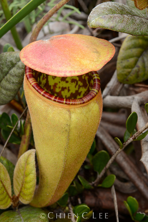The upper pitcher of an undrescribed carnivorous pitcher plant (Nepenthes sp.) from a remote mountain range in central New Guinea. Papua, Indonesia.