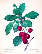 19th-century hand painted Engraving illustration of a cherries on a branch , by Pierre-Joseph Redoute. Published in Choix Des Plus Belles Fleurs, Paris (1827). by Redouté, Pierre Joseph, 1759-1840.; Chapuis, Jean Baptiste.; Ernest Panckoucke.; Langois, Dr.; Bessin, R.; Victor, fl. ca. 1820-1850.