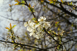Cherry images, trees,fruit and blossom