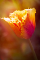 A perfect Spring Fringed Tulip.