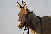Close up portrait of a donkey