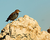 European Starling (Sturnus vulgaris). Mono Lake, California. Image taken with a Nikon D700 camera and 80-400 mm VR lens.