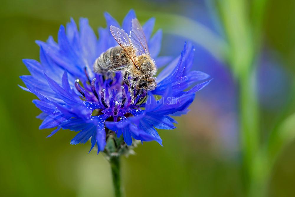 European honey bee (Apis mellifera) on cornflower (Centaurea cyanus).  Photo from northern Denmark in June.