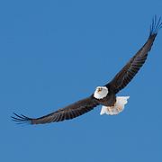 Bald eagle (Haliaeetus leucocephalus) in flight. Yellowstone National Park. Montana