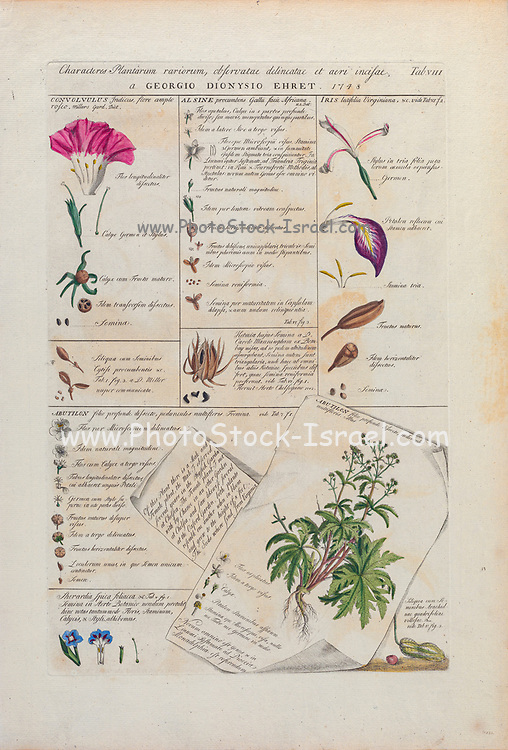 Plant anatomy study. Engraved and hand-colored print of plants and butterflies from Plantae et papiliones rariores (rare plants and butterflies) by Ehret, Georg Dionysius, 1708-1770 Published in London in 1748