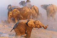 Impressionen aus dem Etosha Nationalpark im Norden von Namibia mit afrikanischem Elefant (Loxodonta africana) beim Staubbad.