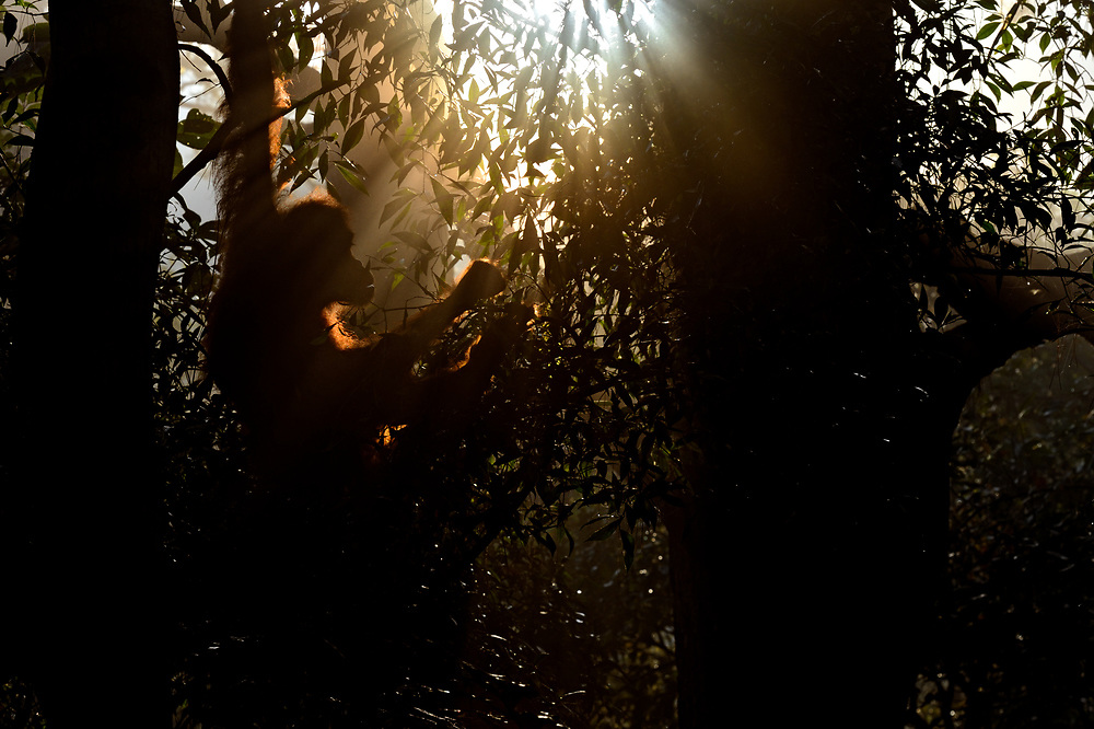 """A female Sumatran Orangutan wakes, emerges from her overnight nest she'd built and begins to feed on leaves.The dawn light feeds through the dense jungle canopy, lighting her and the surrounding jungle. Taken in the jungles of Northern Sumatran, Indonesia. <br /> <br /> BIO: Craig's photography covering the plight of the Sumatran Orangutans has been published around the world on the BBC News, BBC Wildlife Magazine and National Geographic magazine. He's also appeared for Nat Geo WILD discussing Sumatra as part of the """"Paradise Islands & Photo Ark"""" Nat Geo series.  <br /> <br /> He's spoken at the Green Party Conference about palm oil and it's effects that he's seen firsthand.  Spoken at the Natural History Museum in London twice  on behalf of those critically endangered Sumatran Orangutans bringing their plight to the public's attention.<br /> <br /> He works tirelessly to bring about a more ethical approach to wildlife photography and has worked hard to bring this issue to the surface on the Kay Burley Show on Sky News and the Guardian.  <br /> <br /> He doesn't enter photography competitions and so can't claim to be """"award winning"""" <br /> <br /> His images represent an event that occurred in the wild something that he witnessed and recorded with his camera. His skill lies in interpreting and presenting this in a way that invokes beauty, mood and emotion with each moment captured. <br /> <br /> As an ex soldier he tries to help those injured by war or previous trauma. Showing the beauty of the natural world and how it can heal and add such a lot to the persons life. He's done many podcasts talking about this in the hope his own experiences will help others. Modern Mann - Nature / Nurture podcast being just one.<br /> <br /> https://www.modernmann.co.uk/new/naturenurture<br /> <br /> He has never forgotten his roots , his late mother for instilling the beauty of nature into him and his childhood love of wildlife that is behind his work today.<br /> <br /> Website: cr"""