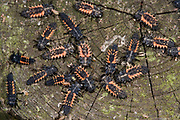 Close up of a large number of a harlequin ladybird larvae (Harmonia axyridis) massed on top of a fence post in a Norfolk wood in autumn