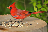 A Very Cute Common Red Bird, The Northern Cardinal Male, Feeding On Bird Seed, Cardinalis cardinalis