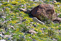 Mexican Gold Poppies (Eschscholtzia mexicana) growing among boulders on a slope in the Anza Borrego Desert, California