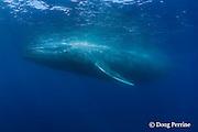 blue whale, Balaenoptera musculus, Endangered Species, California ( Eastern Pacific Ocean )