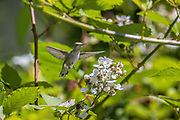 A female Anna's hummingbird (Calypte anna) flies through a patch of blackberries to feed in Snohomish County, Washington.