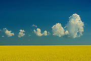 Canola and clouds<br /> Treherne<br /> Manitoba<br /> Canada