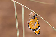 Two Plain Tiger (Danaus chrysippus) AKA African Monarch Butterfly mating on a flower Photographed in Israel, in August
