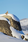 Coyote (Canis latrans)howling during winter in Yellowstone National Park
