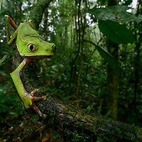 With their vertical pupils and opposable thumbs, Phyllomedusa are easily some of the most distinguishable of all tree frogs. However, it is their peculiar form of locomotion that is perhaps their most striking feature: when seen walking slowly down a branch with their bodies raised, they appear decidedly 'un-froglike'. Studies into their anatomy reveal that they possess a specialized musculature that not only allows them to move their limbs independently (as opposed to the simultaneous bilateral hopping motions of most other frogs), but also gives them a 'precision grip' which enables steady movement over thin branches. This grasping ability is rare among animals and is shared predominantly with higher primates, hence leading to one of their common names: 'Monkey Frogs'. Coca, Ecuador.