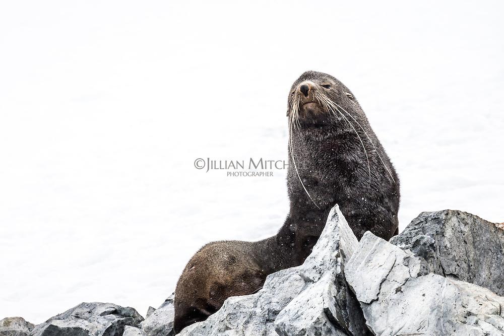 Antarctica Fur Seal at Orne Harbour, Antarctica.