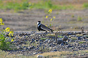 Spur-winged Lapwing (Vanellus spinosus) standing by water, Photographed at Hula Valley, Israel in March