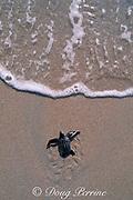 leatherback sea turtle hatchling, Dermochelys coriacea, crawls across beach toward the ocean, Juno Beach, Florida, USA ( Western Atlantic Ocean )
