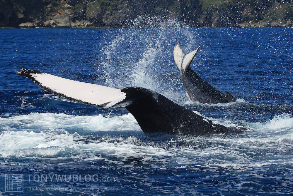 Adult female humpback whale (Megaptera novaeangliae) engaged in tail slapping with her calf. The calf is slapping its fluke in the normal manner, with ventral side down, while its mother is tail slapping with dorsal side down, hitting the dorsal surface of her fluke on the ocean surface. This type of joint activity is common with humpback whale mother and babies. The calf is Orion, the 13th calf I counted in the 2007 season in Vava'u, Tonga.