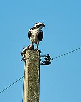 Osprey (Pandion haliaetus). Fort De Soto Park. Pinellas County, Florida. Image taken with a Nikon D700 camera and 300 mm f/2.8 VR lens and 2.0x TC-E teleconverter.