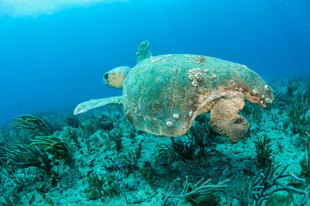 A Loggerhead Sea Turtle, Caretta caretta, with a massive shark bite, swims over a coral reef in Palm Beach, Florida, United States