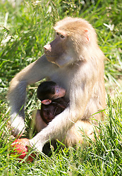Maya, a seven-year-old hamadryas baboon, nurses her week-old infant in the baboon enclosure at the Oakland Zoo, Tuesday, April 16, 2013 in Oakland, Calif. (D. Ross Cameron/Staff)