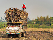 02 FEBRUARY 2016 - NONG LAN, KANCHANABURI, THAILAND:  A worker stands on top of sugar cane stacked in a truck during the harvest in Kanchanaburi, Thailand. Thai sugar cane yields are expected to drop by about two percent for the 2015/2016 harvest because of below normal rainfall. The size of the crop is expected to increase slightly though because farmers planted more sugar cane acreage this year. Thailand is the second leading exporter of sugar in the world. Thai sugar growers are hoping a good crop would make up for shortages in global markets caused by lower harvests in Brazil and Australia, where sugar yields have been stunted by drought. Because of the drought in Thailand, sugar exports are expected to drop by up to 20 percent, contributing to a global sugar shortage. The drought is is also hurting the quality of Thai sugar, because sugarcane grown in drought is less sweet than normal so mills need to process more cane to make the same amount of sugar. Thai sugar farmers have lost 20 percent to 30 percent of their output this year because of the drought.         PHOTO BY JACK KURTZ