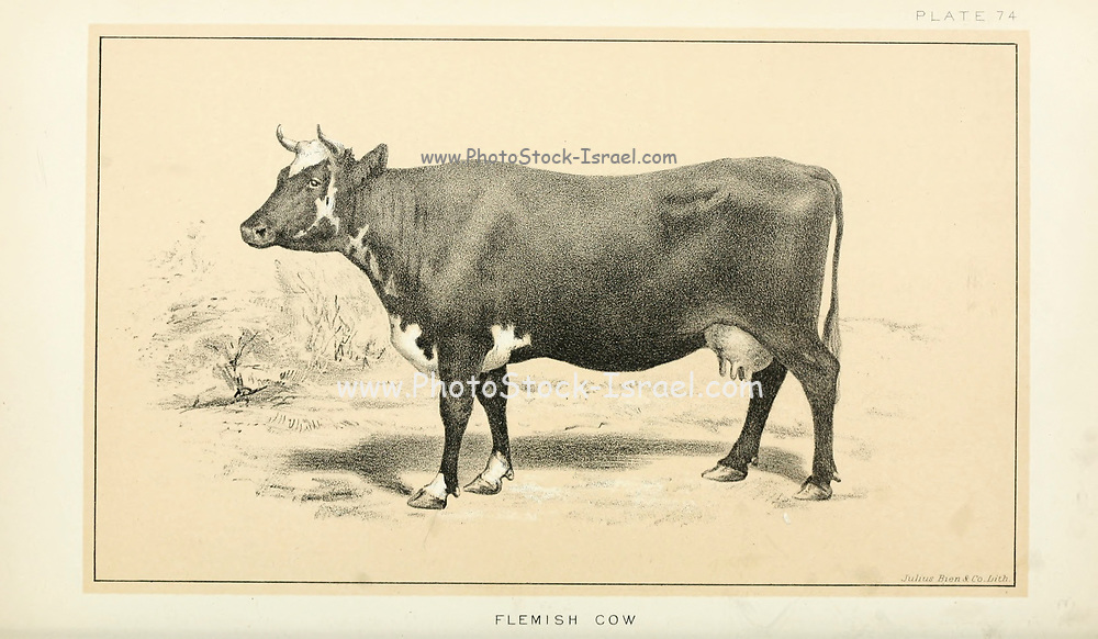 Flemish Cow from Cattle and dairy farming. Published 1887 by Govt. Print. Off. in Washington. United States. Bureau of Foreign Commerce (1854-1903)