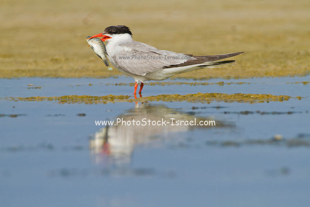 Common tern (Sterna hirundo) adult on the beach with a fish in its bill. This seabird is found in the sub-arctic regions of Europe, Asia and central North America. It migrates to the subtropical and tropical oceans. The common tern grows up to 37 centimetres with a wingspan of 70- 80 centimetres. Photographed in Israel