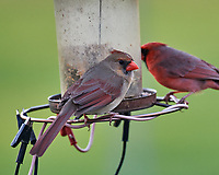 Northern Cardinals at the bird feeder. Image taken with a Nikon D5 camera and 600 mm f/4 VR lens (ISO 1600, 600 mm, f/5.6, 1/250 sec).
