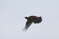 Red grouse (Lagopus lagopus scotica) flying over the snow of the Derbyshire moors.