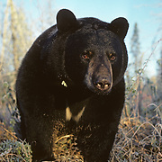 A large male black bear (Ursus americanus) foraging for food in frosty grasses at the edge of a beaver pond. Minnesota