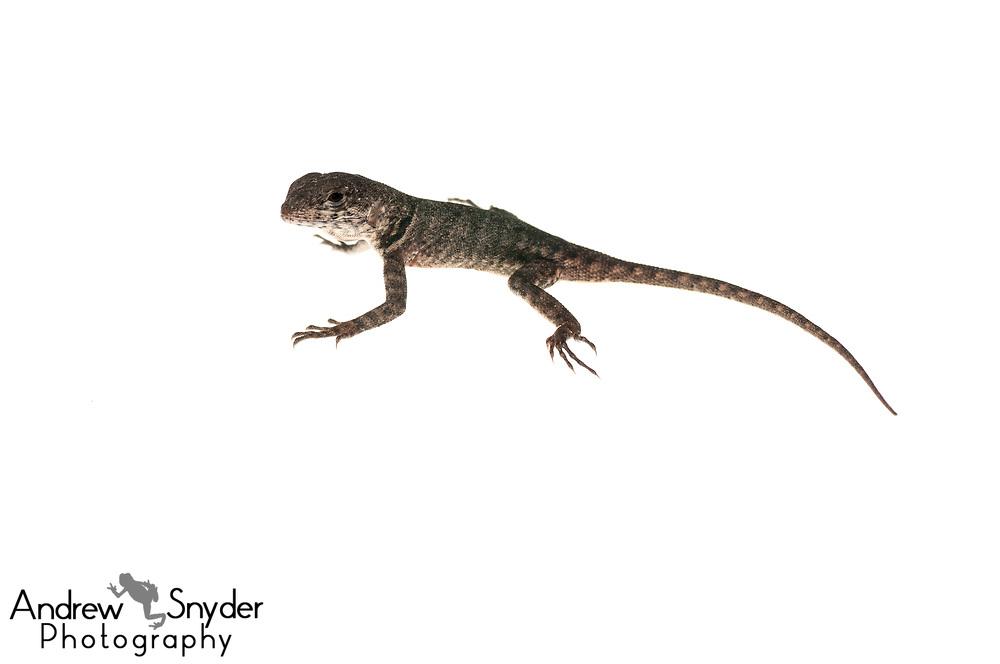 Guyana lava lizard, Tropidurus hispidus, Dadanawa Ranch, Guyana, July 2014
