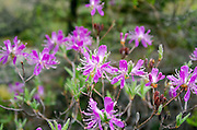 Mass of rhodora (Rhododendron canadense) blossoming along the Ship Harbor Nature Trail in Acadia National Park, Maine