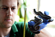 © Licensed to London News Pictures. 22/08/2012.  London, UK . Giant African Millipedes is measured. ZSL London Zoo conducts its annual weigh-in. Each of the 16,000 animals are measured and weighed. The information recorded is sent to zoos around the world. Photo credit : Stephen Simpson/LNP