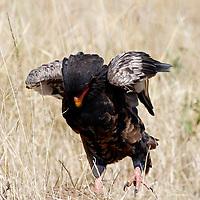 Africa, Kenya, Masai Mara. Bateleur Eagle.