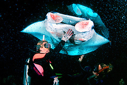 woman scuba divers and reef manta rays or coastal mantas, Manta alfredi, feeding at night, Kona Coast, Big Island, Hawaii, Pacific Ocean, MR - model released