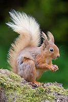 Red Squirrel, Sciurus vulgaris, Scotland, May
