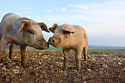 Pigs at Sheepdrove Organic Farm, Lambourn, England