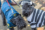 Paddington adn Sakura, Kerry Blue Terriers - A charity Halloween Dog Walk and Fancy Dress Show organised by All Dogs Matter at the Spaniards Inn, Hampstead. London 29 Oct 2017.