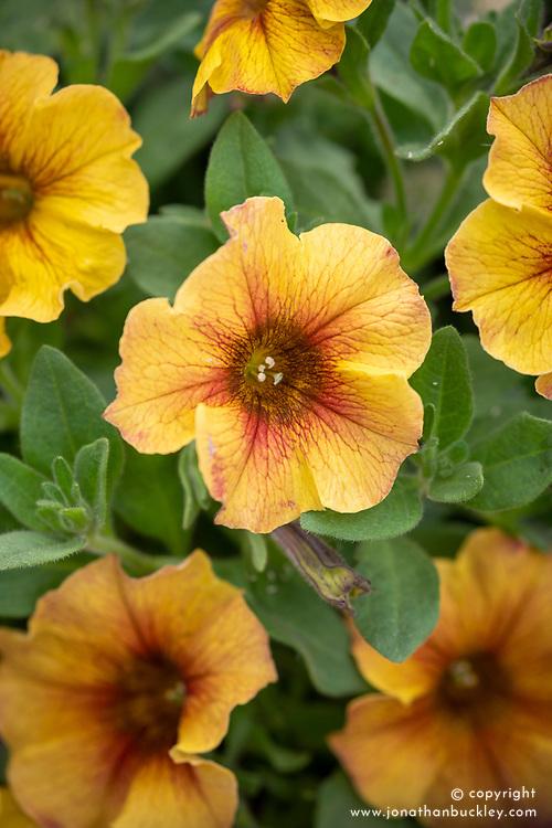 Petunia Petchoa BeautiCal Series 'Caramel Yellow'
