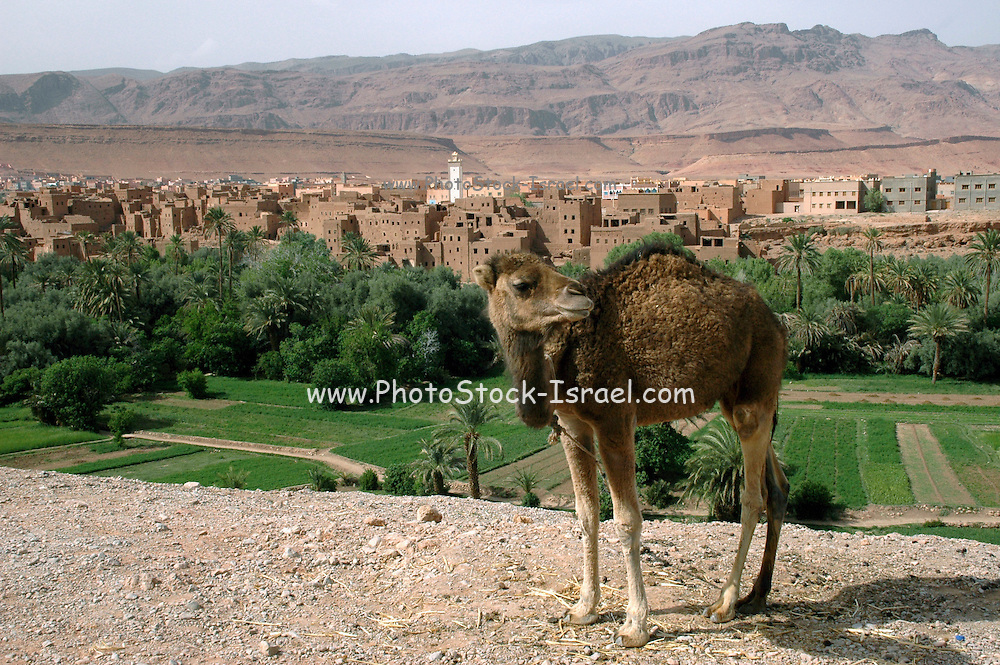 Morocco, Todra Gorge (Wadi Todra) Arabian camel (Camelus dromedarius) with houses in the background