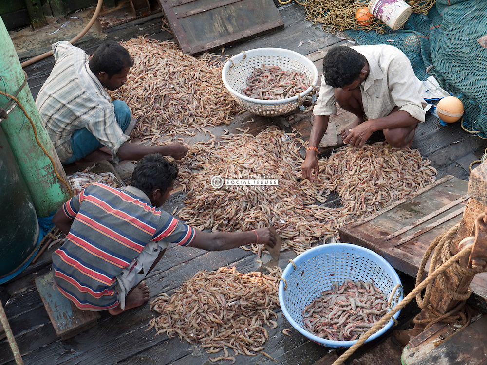 Sorting a catch of prawns on board a boat at Chapora port, Goa