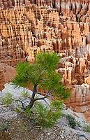 Pinyon Pine sapling at Inspiration Point, Bryce Canyon National Park ,Elevation 8100ft, Utah, USA.
