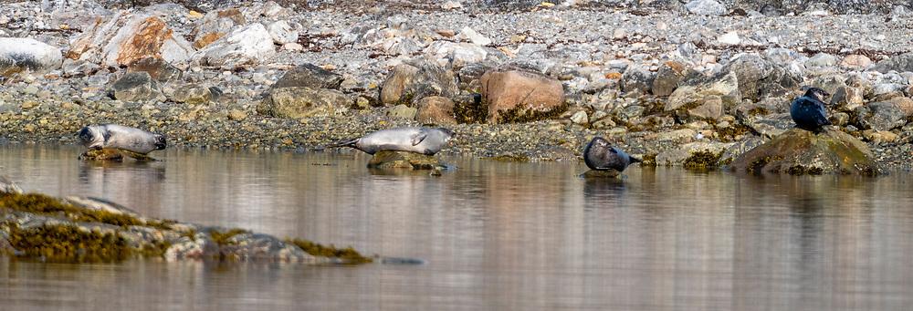 Harbour Seals (Phoca vitulina) resting in the evening sun at Virgohamna, Danskeøya, north-western Spitsbergen, Svalbard, Norway.