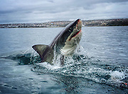 """Go Pro Shark Photographer<br /> <br /> Amanda Brewer is not only a shark conversationist but also a Go pro photograoher of these stunning animals, these images taken in Mossel Bay, South Africa with an eco tourism company called White Shark Africa and feature juvenile great white sharks. Amanda says """" Many of the sharks seen in the photos and videos are regulars around seal island and we know them well"""",  The female shark seen breaching out of the water is named """"Blackgill"""", and is easily the most impressive shark we've ever met. (Sharkservation) which takes and shares these photos to get people interested in learning about sharks in hopes that we can protect them. On average, 100,000,000 sharks are being killed every single year for profit. This is an unsustainable rate and we see extinction in the near future for many large species of shark if nothing is done soon.  In my time with the white shark I've learned that they each have an individual and distinct personality and they are far more intelligent than we give them credit for. I have a life long passion for these animals and I hope to play a role in securing their well deserved, perfectly evolved, presence here on earth.<br /> ©Exclusivepix Media"""